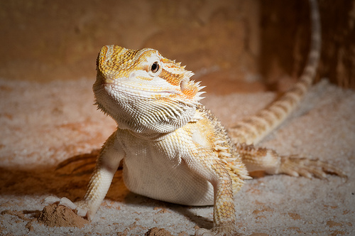 Bearded Dragons Fighting